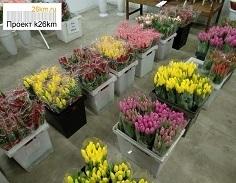 Более 5 млн тюльпанов выращено к 8 марта